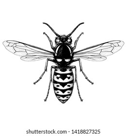 Illustration of a Prairie Yellowjacket (Vespula Atropilosa) in a vintage style