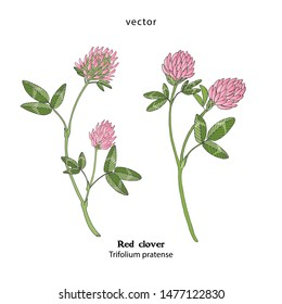 Illustration of Red clover, Trifolium pratense, hand drawing, vector.