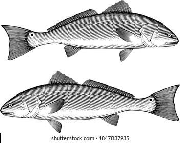 Illustration of a Red Drum fish in vintage style