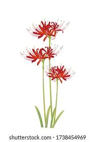 Illustration of red spider lily.