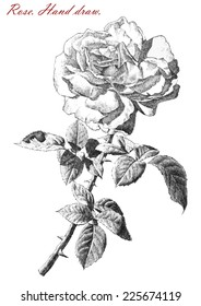 illustration with rose on white background (hand draw)