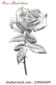 illustration with rose on white background. hand draw.