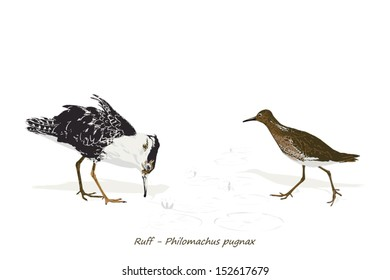 Illustration Of Ruff (male and female)