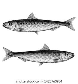 Illustration of a Sardine (Pilchard)