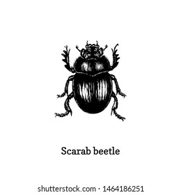Illustration of Scarab beetle. Drawn insect in engraving style. Sketch in vector.