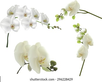 illustration with set of isolated white large orchid flowers