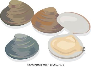 Illustration of shellfish (clams) seafood