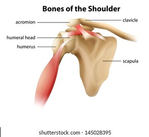 Illustration showing the bones of the shoulder