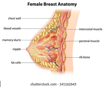 Breast Anatomy Images Stock Photos Vectors Shutterstock