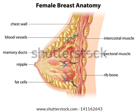 Illustration Showing Female Breast Anatomy Stock Vector (Royalty ...
