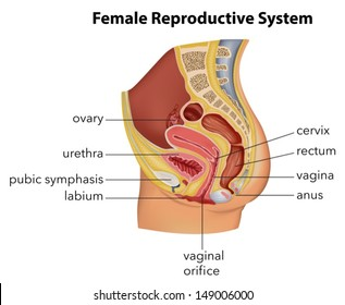 Female reproductive system images stock photos vectors shutterstock illustration showing the female reproductive system ccuart Image collections