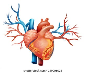 Illustration showing the heart