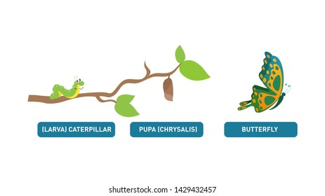 Illustration showing the Life Cycle of Monarchs. Life cycle of butterfly (caterpillar, pupa, butterfly). Metamorphosis. Educational biology for kids. Cartoon vector illustration in flat style.