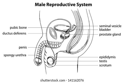 Male reproductive system images stock photos vectors shutterstock illustration showing the male reproductive system ccuart