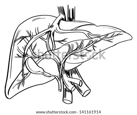 Illustration Showing Outline Human Liver Stock Vector Royalty Free