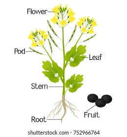 Plant part images stock photos vectors shutterstock an illustration showing parts of a canola plant ccuart Image collections