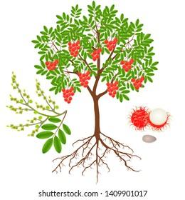 An illustration showing parts of a rambutan plant.