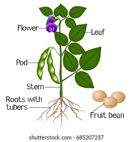 An illustration showing parts of a soybean plant.