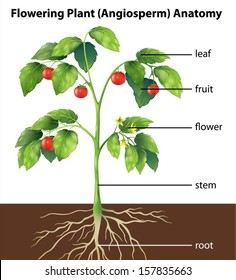 Tomaten pflanze stock vectors images vector art shutterstock illustration showing the parts of a tomato plant ccuart Gallery