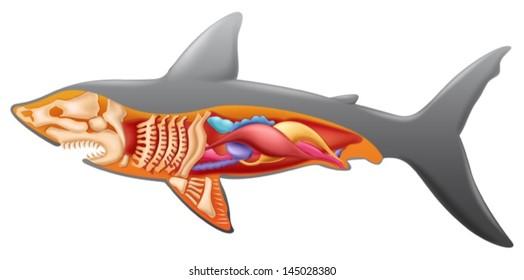 Generic Shark Anatomy Chart Illustration Stock Vector Royalty Free