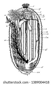 Illustration shows Holothurian Dissection from the ventral surface. Dissection shows tentacles on upper part & Anus at the bottom. In between there are longitudinal muscles, vintage line drawing