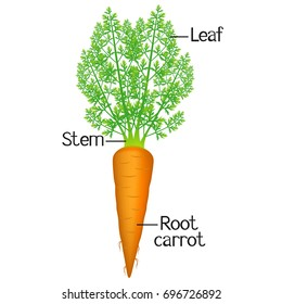 Carrot parts diagram wiring diagram for light switch vector diagram showing parts carrot whole stock vector 360066287 rh shutterstock com root diagram plant stem diagram ccuart Choice Image