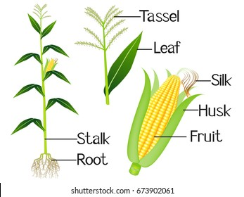 The illustration shows part of the corn plants.