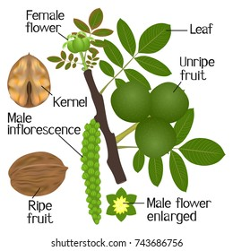 The illustration shows various parst of the walnut plant on a white background.
