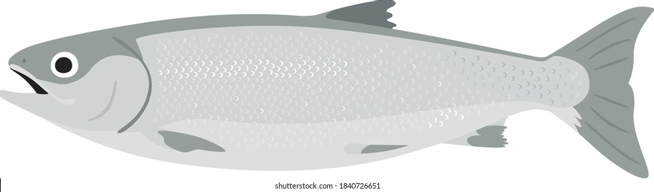 Illustration of Silver Salmon. A female salmon with a plump belly.