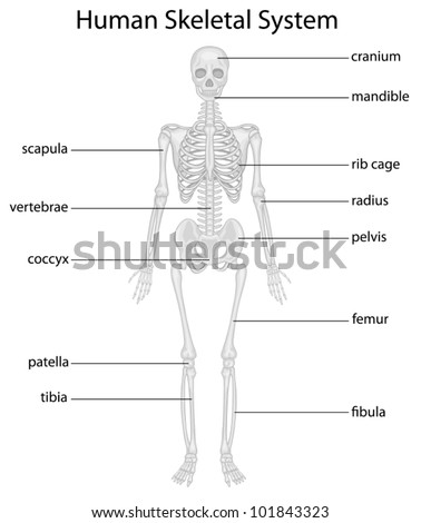Illustration Skeletal System Labels Stock Vector (Royalty Free ...
