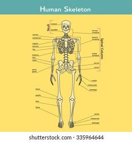 Illustration of skeletal system with labels. Human Skeleton. Vector illustration. Didactic board of human bony system.