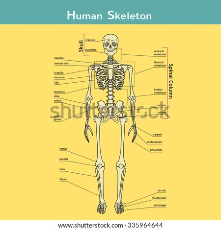 Illustration Skeletal System Labels Human Skeleton Stock Vector ...