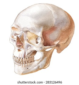 Illustration with skull. Vector. Watercolor. Hand drawn.