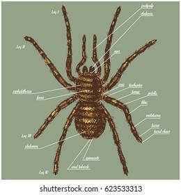 False Wolf Spider Images, Stock Photos & Vectors | Shutterstock