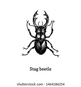 Illustration of Stag beetle. Drawn insect in engraving style. Sketch in vector.
