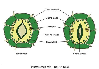 Illustration of stoma