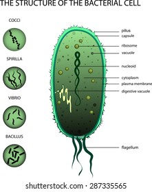 ILLUSTRATION OF THE STRUCTURE OF THE BACTERIAL CELL