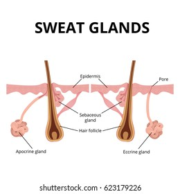 illustration of the structure of the hair and hair follicle, sweat and sebaceous gland