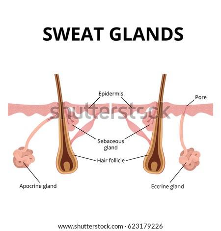 Sebaceous Follicle Sebaceous Gland Diagram - Car Wiring Diagrams ...
