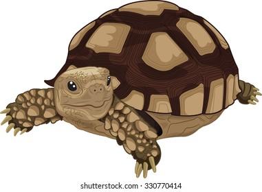 Illustration of Sulcata land tortoise
