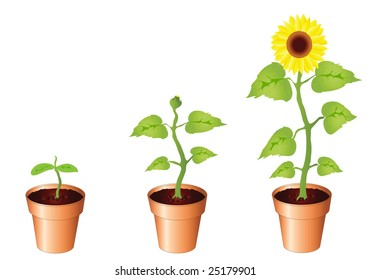 Illustration of sunflower through stages of growth, seedling, bud and bloom, isolated on white background with copy space. Available in portfolio as vector of jpg