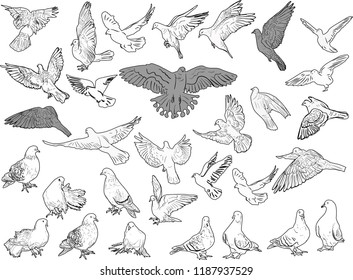 illustration with thirty one black pigeons outlines on white background
