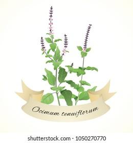 Illustration of Thulasi plant, known as Holy Basil (Ocimum tenuiflorum or Ocimum sanctum)
