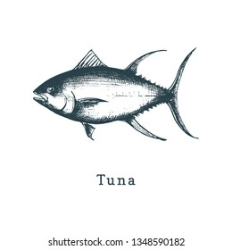 Illustration of tuna.  Fish sketch in vector. Drawn seafood in engraving style. Used for canning jar sticker, shop label etc.