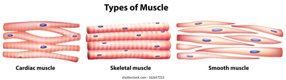 Skeletal Muscle Images Stock Photos Vectors Shutterstock