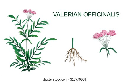 illustration of Valeriana officinalis roots and inflorescence