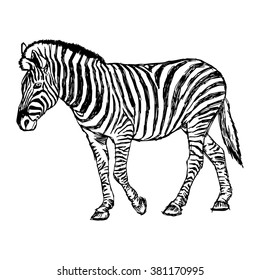 illustration vector doodle hand drawn of sketch zebra standing isolated on white.