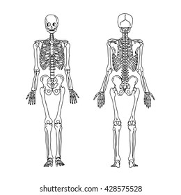 illustration vector hand draw doodles of human skeleton from the posterior and anterior view, anatomy of human bone system