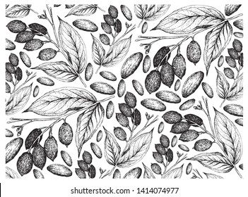 Illustration Wallpaper of Hand Drawn Sketch of Canarium Indicum, Galip Nuts or Pacific Almonds Background, Good Source of Dietary Fiber, Vitamins and Minerals.