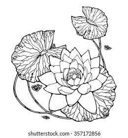 illustration of water lily; lotus; feng shui symbol
